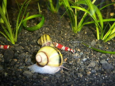 spixi snail no planaria left ,hydra wiped out! cherry,crystal,tiger,shrimp