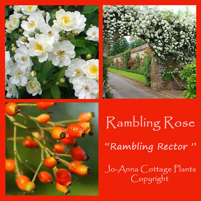 Rambling Rector Rambling Rose Fragranced Fast Growing Bare Rooted  ** 4 For 3 **