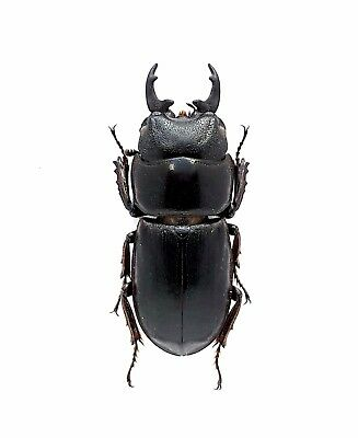 Insect Beetles Lucanidae Dorcus fuscescens 23 mm. Enggano Is. Indonesia