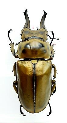 Insect Beetles Lucanidae Allotopus rosenbergi 76 mm Indonesia