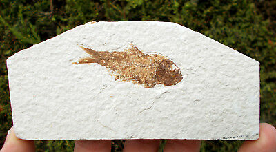 Fossilized Fish - Knightia - Eocene age - Green River - USA. Ref:STQ.KN1