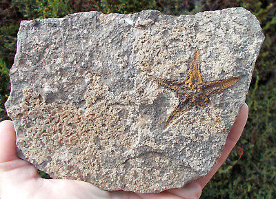 Fossil Starfish - Petraster - Ordovician age - Morocco. Ref:X.PT1 fossils