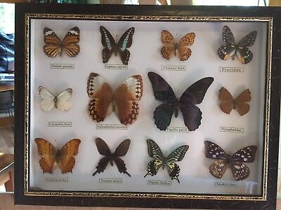 Real Butterflies Mounted Framed Display Of 12