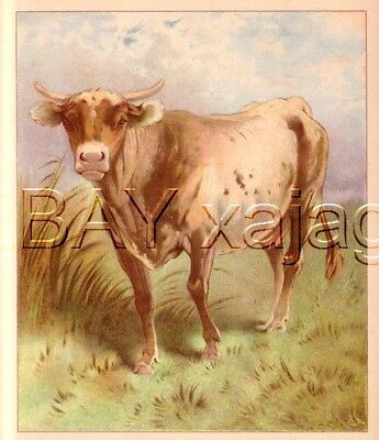 COW Chromolith, Lovely Large Antique Cattle 1890s Print