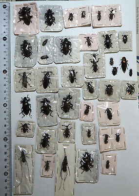 Beetle mix, 40 from West Kalimantan (7)