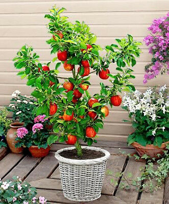 Apple Seeds * Bonsai Dwarf Malus Domestica * Sweet and Juicy Apples