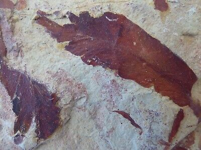 Attractive Slab of Fossil Leaves -18 x 10.5 cm Glossopteris Browniana -290 M.Y.O