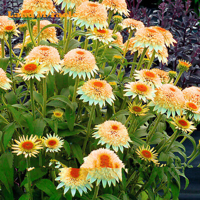 Rare Coneflower Flower Light Orange Echinacea Seeds, 20 PCS - Heirloom 'Puff Van
