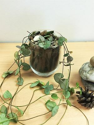 1 Chain of Hearts Rosary Vine indoor Plant @ Glass PVC Pot Garden Succulent Cati