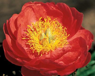 Peony Coral Magic-1  middle size tuber-3-5 eye division-  bareroot