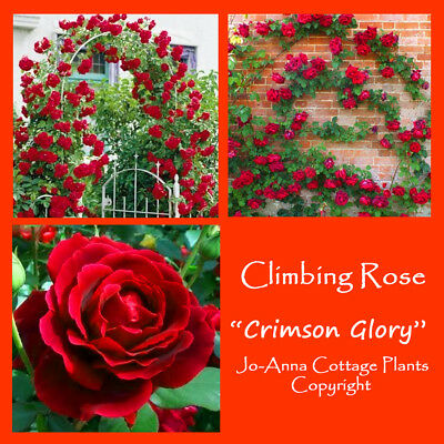 Crimson Glory Climbing Rose Very Scented Repeat Bare Root  ** Any 4 For 3 **