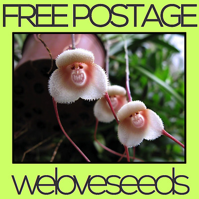 LOCAL AUSSIE STOCK - Monkey Face Orchid, Flower Bonsai Seeds ~15x FREE SHIPPING