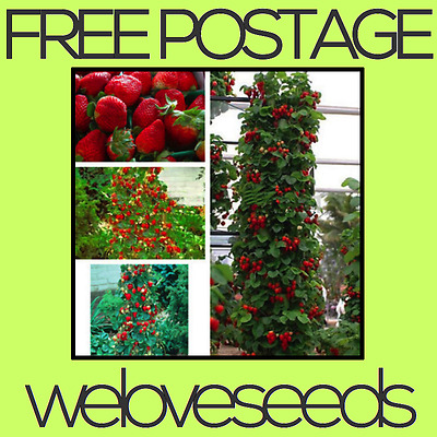 LOCAL AUSSIE STOCK - Red Climbing Strawberry, Fruit Seeds ~10x FREE SHIPPING