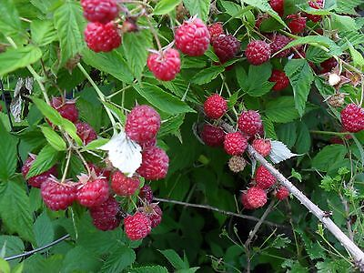 5 Early crop ever bearing Mammoth red raspberry.Live rooted.zone 3-8 Not Dormant