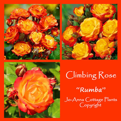 Rumba Climbing Rose Fragranced Repeat Flowering Bare Root ** Any 4 For 3 **