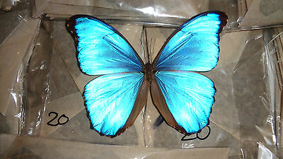 Blue Morpho Didius Lot 20 A1/a- Male Good Condition Unmounted Art Work
