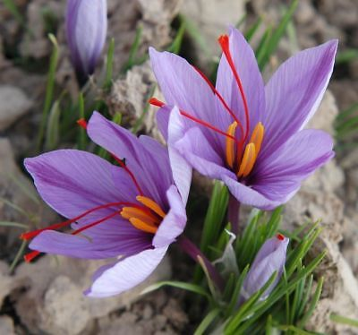 15 bulbes Crocus Sativus Safran de culture bio