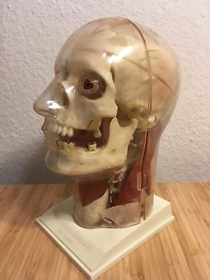 Antique Anatomical head Model skull Anatomy Medical Art Deco Mid Century décor