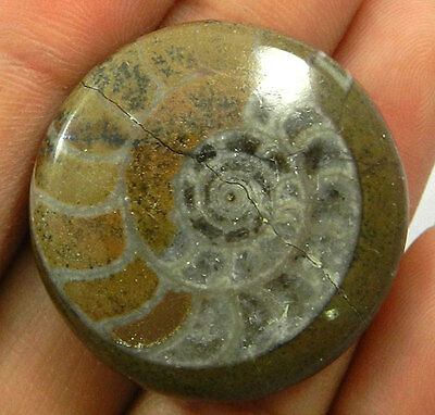 61.40Cts 100% NATURAL BROWN AMMONITE FOSSIL 31MM ROUND CABOCHON JEWELRY GEMSTONE