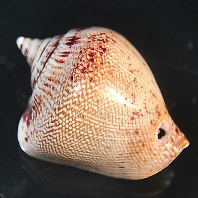 95.00 cts Queen Conch sea shell 47X35 mm Big size beach house cottage decor