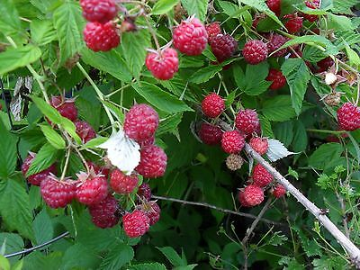 1 Early crop Mammoth red raspberry. Live rooted plant. zone 3-8 Not Dormant