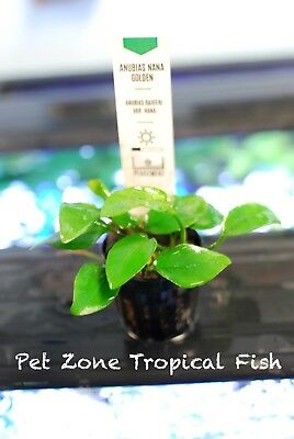 Anubias Nana Golden, Potted - Anubias Gold - Live Aquarium Freshwater Plants