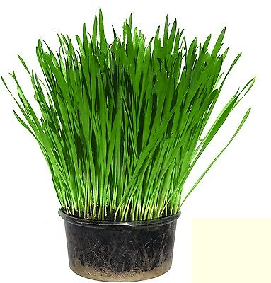Cat Grass (Single)- Easy Grow your own kit - UK Seed - Indoor Kitty Grass