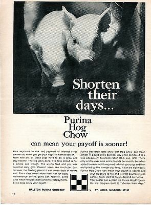 1970 Print Ad of Purina Hog Chow pig swine shorten their days