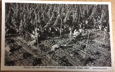 VINTAGE RPPC PICKING THE HOPS AT WHITBREAD'S GARDENS PADDOCK WOOD KENT 1960's