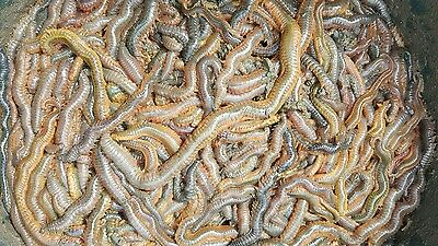 RAGWORM! 1/2 kg live wild ragworms sea fishing bait next day delivery by 1pm