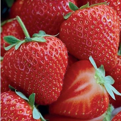 5 Allstar #1 strawberry living rooted plants.Zones 4-8 Not Dormant