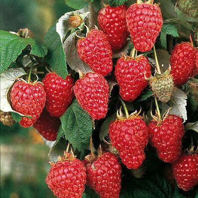 5 Autumn Bliss red raspberry plants largeberries.Everbearing zone3-8 Not Dormant
