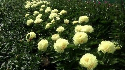 Yellow Peony Sunny Boy  bare root -Exclusive rare- 2-4 eyes