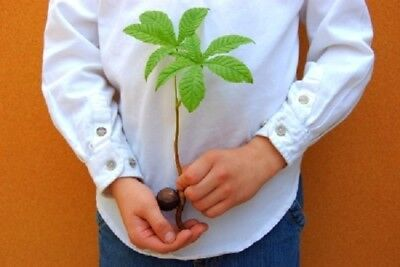 Horse-Chestnut (Conker) Tree 3-Finest seeds. Hardy Variety For UK Weather.