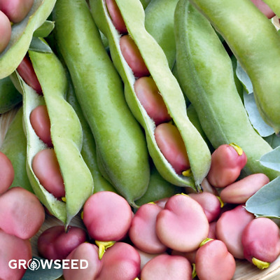 Karmazyn Broad Bean Seed - 50 Seeds - Sow NOW SEPT - MARCH