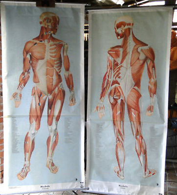 2 ROLL / PULL DOWN MEDICAL BODY CHART German 1961 Design Modernist mid century