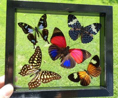 "5 Real Framed Butterflies Double Glass In A Black Frame 6.5""x7.5"" Amazing"