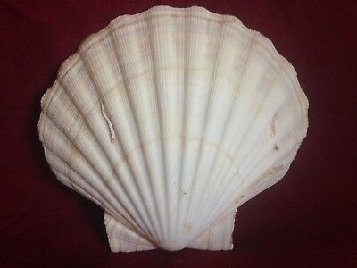 """LARGE Lions Paw Scallop Clam Shell5 1/2"""" Seashell soap dish Beach baking crafts"""