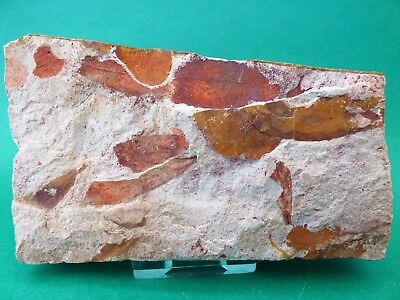 Attractive Slab of Fossil Leaves 11 cm  Glossopteris Browniana -290 M.Y.O