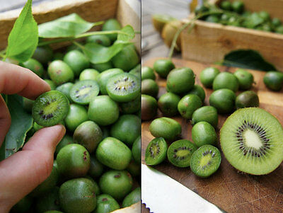 Mini Kiwi Fruit Plant Seeds. Great Plant Perfect For Small Areas FREE SHIPPING