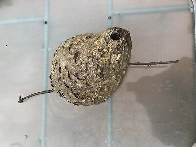 Large Hornet Nest 15X33 Great For Taxidermy Or Classroom
