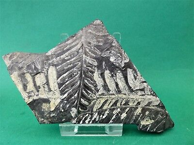 Attractive Slab of Fossil Ferns  on Grey Shale-16 x 8.cm-St Claire, Pennsylvania