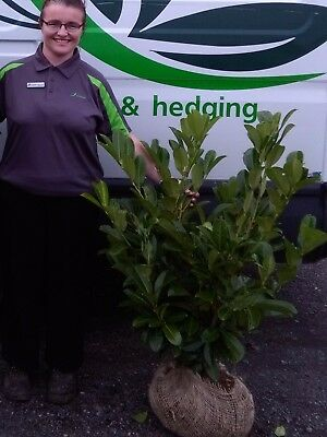 Laurel Instant Hedging -  Root Balled 3-4ft tall
