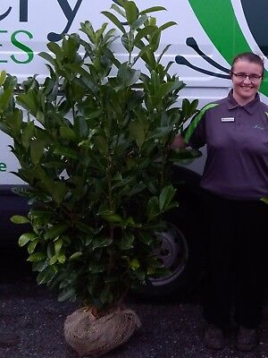 Laurel Instant Hedging -  Root Balled 4-5ft tall