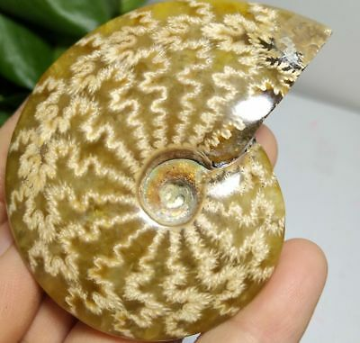 78g PRETTY NATURAL Jade Pattern Ammonite Fossil FROM Madagascar a10132
