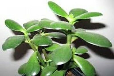 Money Tree Lucky Jade Plant Crassula Evergreen Indoor Plant 4 leaf cuttings