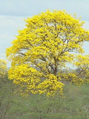 25x Tabebuia chrysantha seed Golden Trumpet Tree Colourful vibrant yellow blooms