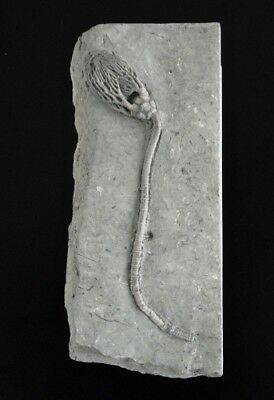 Fossil Crinoid Indiana Usa Mississippian