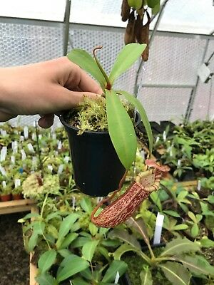 nepenthes spectabilis x ventricosa, Easy to grow hybrid!