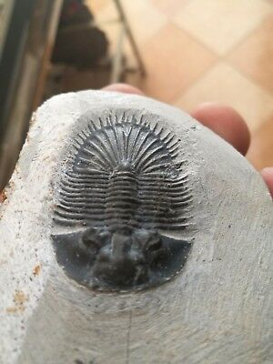 Fossils trilobite thysanopeltis Devonain from Morocco 380 Millions year old